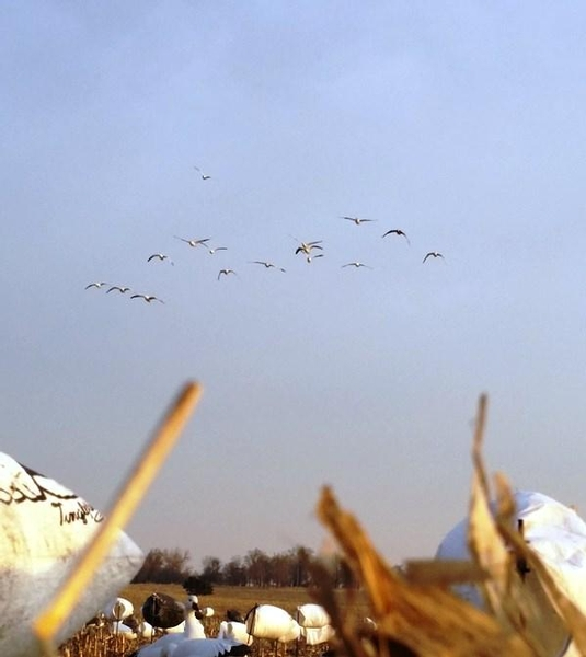 Guided Snow Goose Hunts in NW Missouri in Mound City
