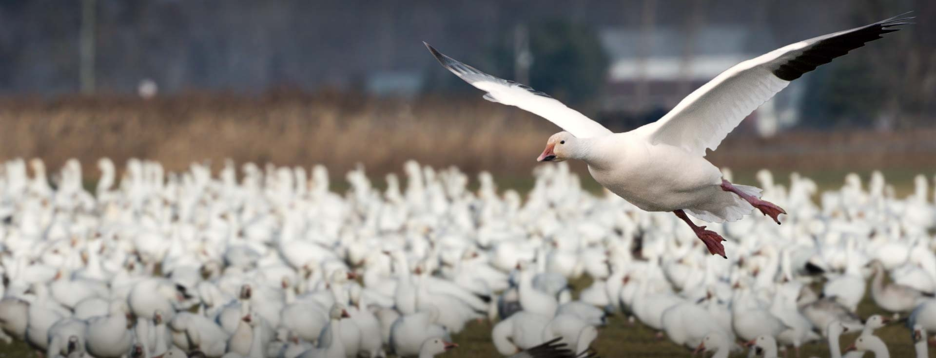 Arkansas Snow Goose Hunting
